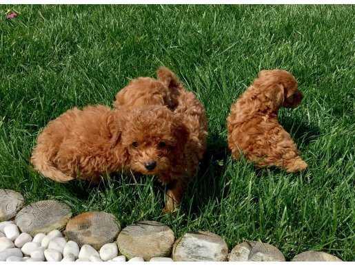 En Fazla Seçenek İle Red Toy Poodle Yavrular