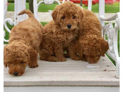 Safkan Red Toy Poodle Yavrular