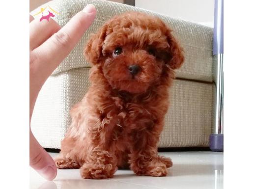 Mini Boy Toy Poodle Yavrular