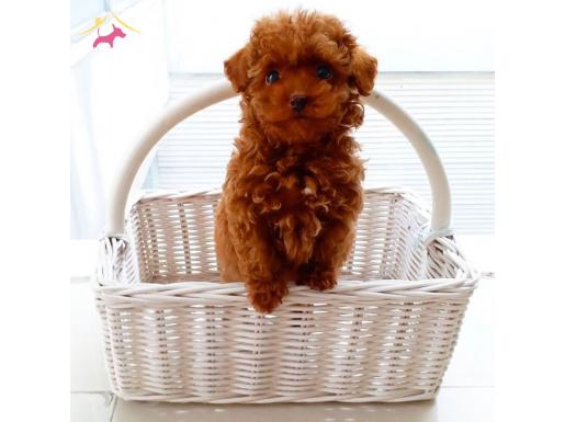 Secereli Irk Garantili Toy Poodle Yavrularımız