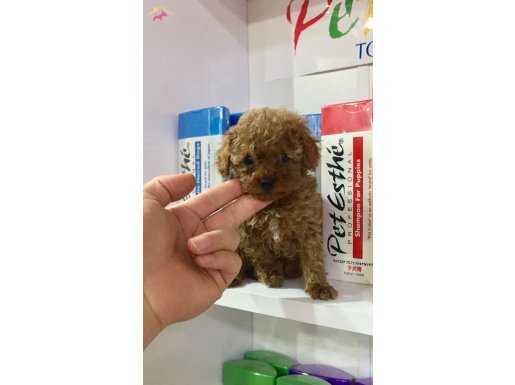 Orjinal Fotoğraflar ile Toy Poodle Yavrular