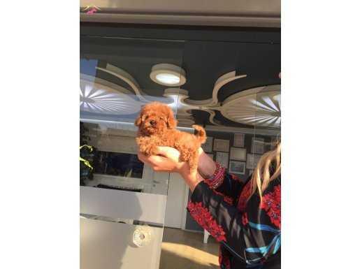 Mini Toy Poodle Yavrular