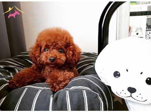 Show Kalite Red Toy Poodle Yavru