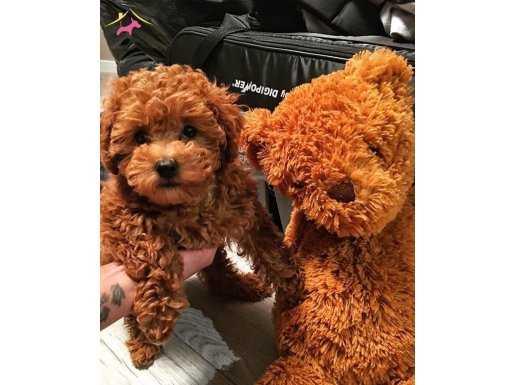 XS Minyatür Red Toy Poodle Yavrular