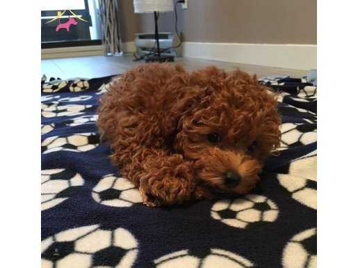 Mini Boy Secereli Red Toy Poodle Yavrular