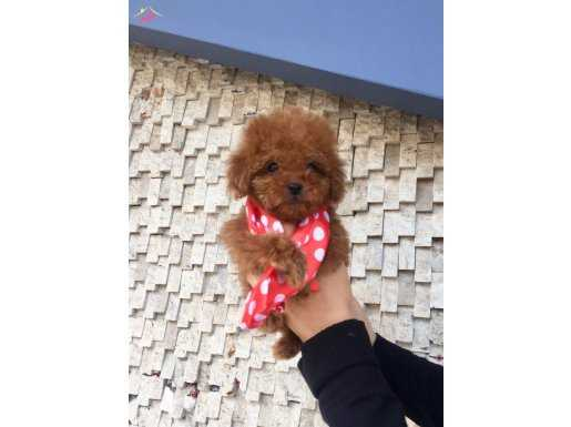 En Mini Boy Red Poodle Yavrular