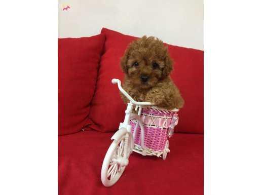 En Güzel Red Toy Poodle Yavrular