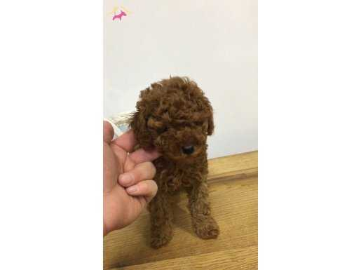 Koyu Red Toy Poodle Yavrular