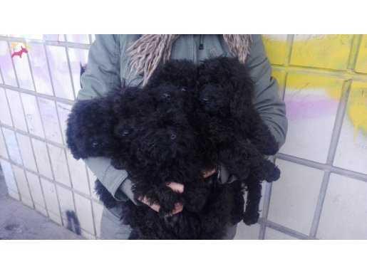 Siyah Toy Poodle Yavrular