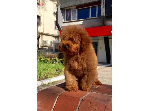 Red Brown Toy Poodle Yavru