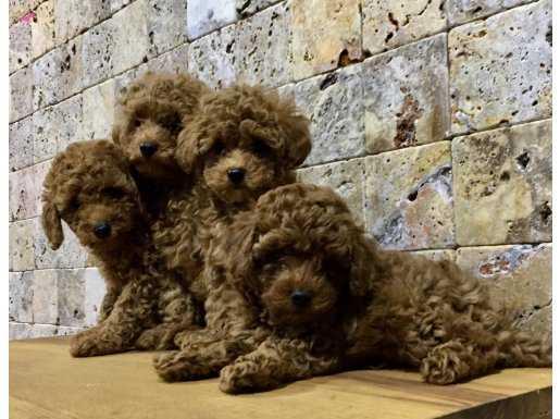 Red Brown Toy Pooodle Yavrularımız