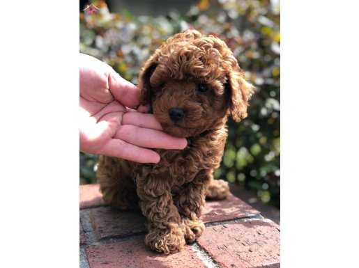 Red Brown Show Kalite Toy Poodle Yavrular