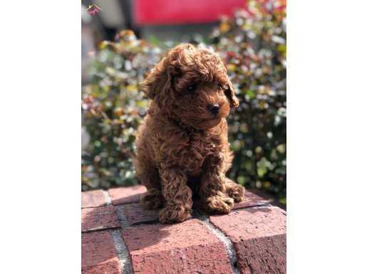 Red Brown Toy Poodle En Güzel Örnekleri ile..