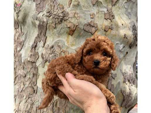 Red Brown Mini Boy Toy Poodle Yavrular