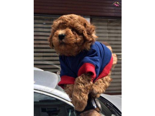 Kısa Burun Red Toy Poodle