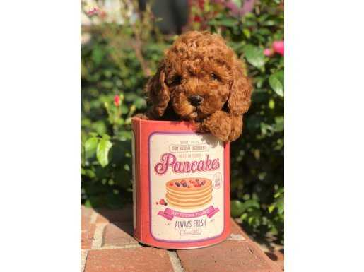Mini Size Red Toy Poodle