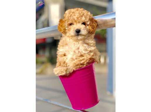 Apricot Toy Poodle