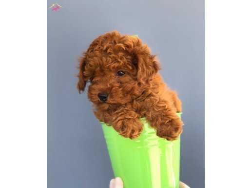 Tüy Dökmeyen Ve Koku Yapmayan Toy Poodle Yavrular