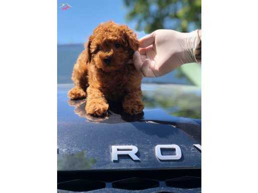 En Sevimli Toy Poodle Yavrular