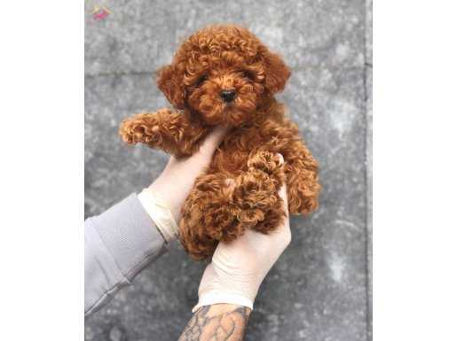 Mini Toy Poodle Yavrularımız Tüm Sevimlilği İle Sizi bekliyr