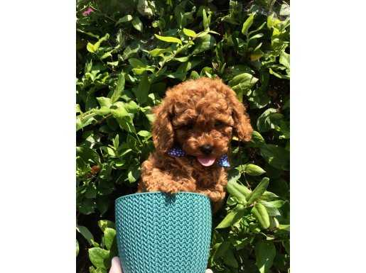 Vogue Pet Güvencesi ile Sağlık Ve Irk Garantili Yavrular