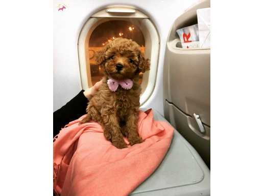 Red Toy Poodle Yavrular