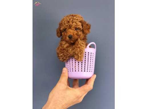 Teacup Mini Boy Red Poodle Yavrular