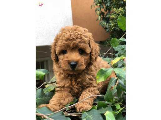 Mini boy Red Poodle Yavrular