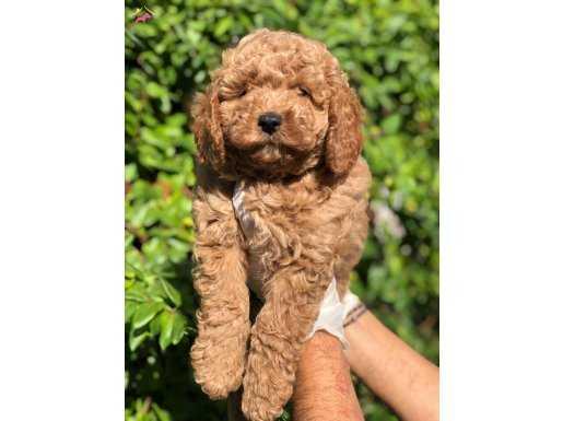 En Fazla Adet ve Renk Seçeneği İle Toy Poodle Yavrular