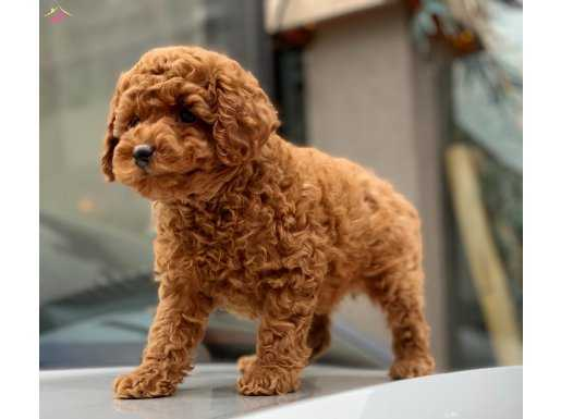 Mini Red Toy Poodle Yavru