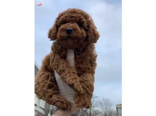 En Güzel ve En Fazla seçenek ile Red Toy Poodle Yavrular