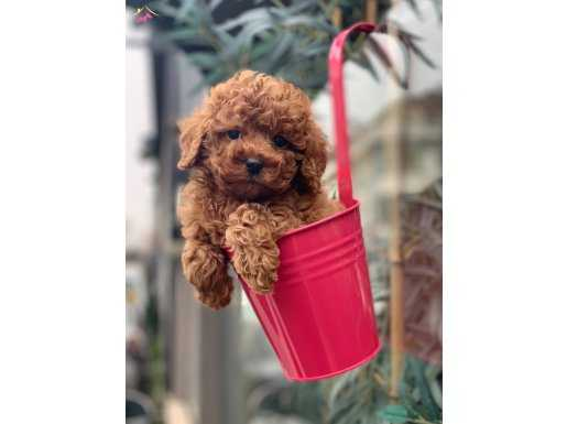 Sağlık ve Irk Garantili Red Toy Poodle Yavrular