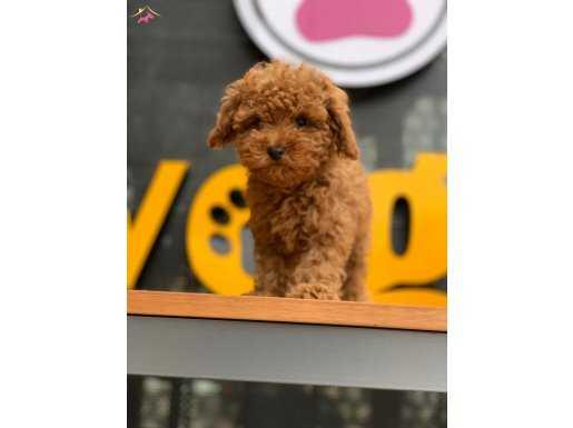 Türkiye'deki En Fazla SeçeNek İle Toy Poodle Yavrular