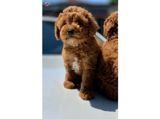 Red Mini Toy Poodle Yavrular