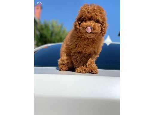 En Güzel ve En Fazla Seçenek İle Red Toy Poodle Yavrular