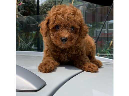 Mini Red Toy Poodle Yavrular