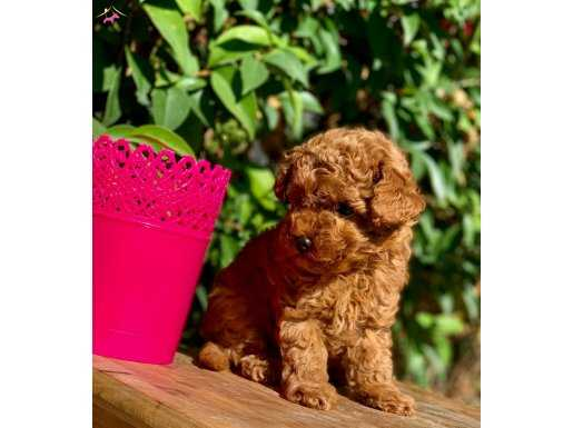 RED BROWN MİNİ TOY POODLE YAVRULAR