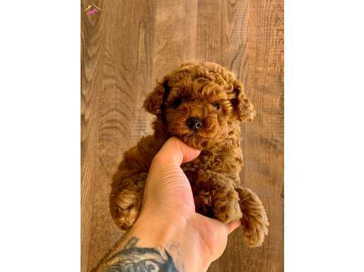 RED BROWN MINI SIZE TOY POODLE