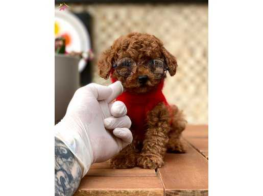 Red Brown Mini Toy Poodle Yavrularımız Sizleri Bekliyor