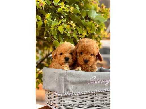 Mini Toy Poodle Rengarenk Yavrular
