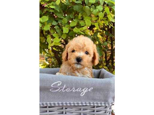 Apricot Mini Toy Poodle