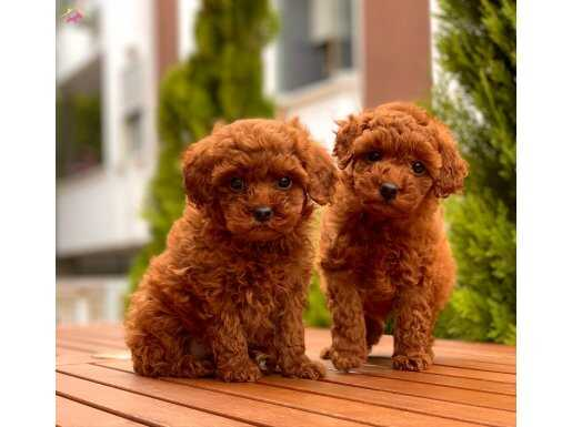 Red Brown Mini Toy Poodle Yavrular