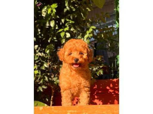 Red Toy Poodle Yavrularımız için iletişime geçebilirsiniz