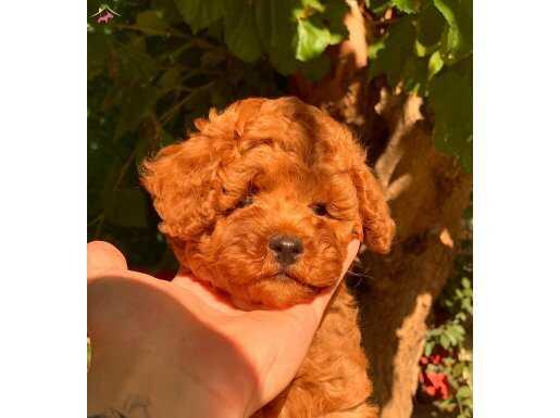 Türkiye'nin en güzel Red Brown Toy Poodle Yavruları