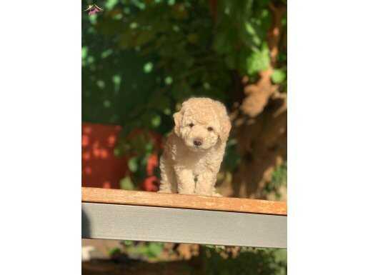 Krem Toy Poodle Yavrular
