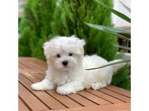 Orjinal Maltese Terrier Yavru