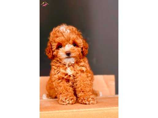 Mini Toy Poodle