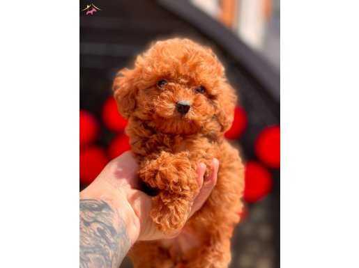 Red Brown Mini Toy Poodle Yavru