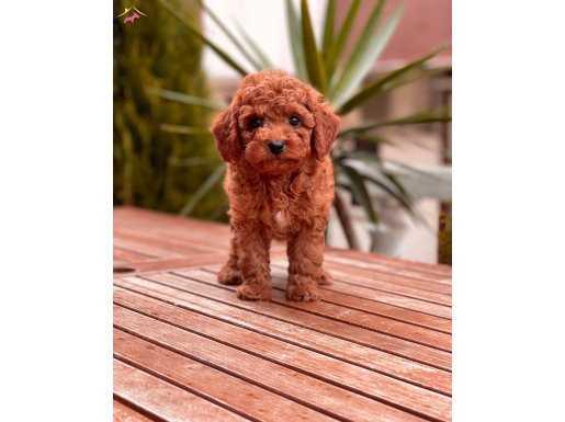 Red Brown ve Tüm Renk Seçenekleri ile Toy Poodle Yavrular