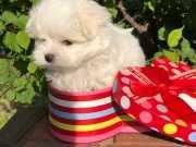 Orjinal Maltese Terrier Yavrular
